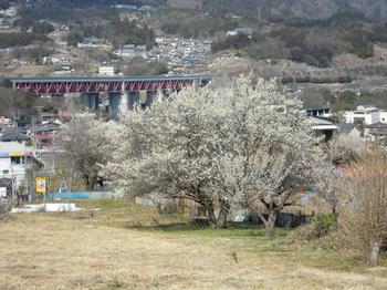 猿橋付近の白梅.jpg