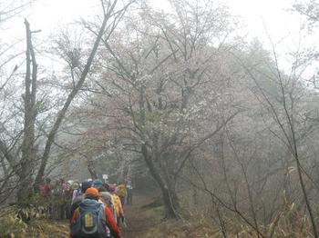 生藤山の桜.jpg