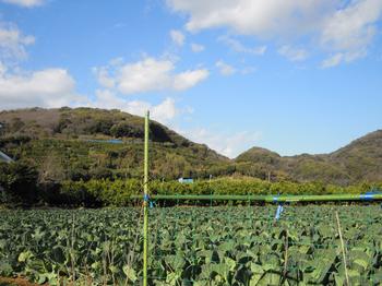 キャベツ畑と武山.jpg