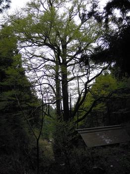 大桂の木.jpg